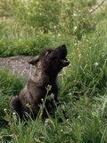 A Howling Black Female, Gray Wolf Pup Photographic Print by Jim And Jamie Dutcher