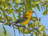 A Male Prothonitary Warbler, Protonitaria Citrea, Perched in a Tree Reproduction photographique par George Grall