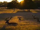 Red Deer, Cervus Elaphus, Resting on a Summer Evening Photographic Print by Alex Saberi