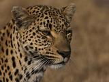 Portrait of a Leopard, Panthera Pardus Photographic Print by Beverly Joubert