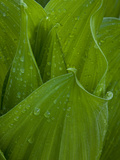 Raindrops on a Corn Lily Photographic Print by Greg Winston