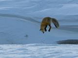 A Red Fox Eyes Where it Wants to Enter into the Snow Reprodukcja zdjęcia autor Barrett Hedges