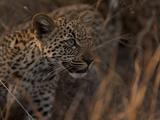 Portrait of a Leopard Cub, Panthera Pardus Photographic Print by Beverly Joubert