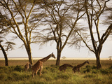 Masai Giraffes Graze in the Fields of Tanzania Fotografiskt tryck av Jim Richardson