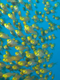 A School of Golden Sweeper Fish, Parapriacanthus Ransonneti Photographic Print by Paul Sutherland