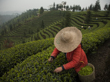 A Crew Picking Tea at Sichuan Agricultural University Fields Photographic Print by Michael S. Yamashita