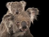 A Federally Threatened Koala with Her Baby Photographic Print by Joel Sartore