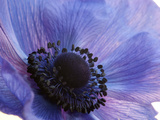 Close Up of a Blue Anemone Flower Photographic Print by Darlyne A. Murawski
