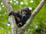 A Young Chimp Resting High in the Forest Canopy Photographic Print by Ian Nichols