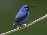 A Male Purple Honeycreeper, Cyanerpes Caeruleus, Perched on a Branch Photographic Print by George Grall