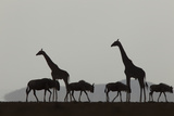 Silhouetted Giraffes and Blue Wildebeests under a Cloud-Filled Sky Photographic Print by Beverly Joubert