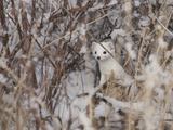 A Short-Tailed Weasel or Ermine, Mustela Erminea Photographic Print by Greg Winston