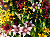 A Showy Arrangement of a Mix of Lily Flowers, Lilium Species Photographic Print by Darlyne A. Murawski