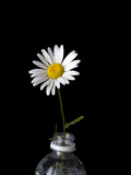 A Oxeye Daisy, Leucanthemum Vulgare, in a Soda Bottle Photographic Print by Joel Sartore