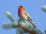 Portrait of a House Finch, Carpodacus Mexicanus, Perched in a Pine Photographic Print by George Grall