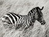 A Plains Zebra Wades Through the Thick and High Grasses of Africa Lámina fotográfica por Jim Richardson