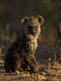 Portrait of a Spotted Hyena Pup, Crocuta Crocuta Photographic Print by Beverly Joubert