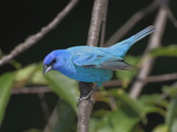 Portrait of an Indigo Bunting, Passerina Cyanea, Perched on a Twig Photographic Print by George Grall