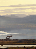 A Caribou Walking Beside the Water at Sunrise Photographic Print by Norbert Rosing