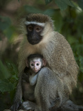 Vervet Monkey with Baby in Queen Elizabeth National Park Photographic Print by Joel Sartore