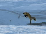 After Deciding Where a Rodent Is under the Snow, a Red Fox Leaps Up Photographic Print by Barrett Hedges