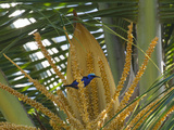 A Red-Legged Honeycreeper Lands on Tropical Plants Photographic Print by Michael Melford