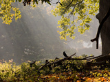A Western Jackdaw, Corvus Monedula, in a Misty Autumn Landscape Photographic Print by Alex Saberi