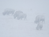 Bison Grazing in a Winter Snowstorm Photographic Print by Greg Winston