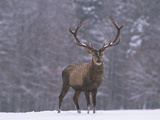 Portrait of a European Red Deer or Elk, Cervus Elaphus, in Snow Photographic Print by Norbert Rosing