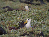 Two Critically Endangered Waved Albatrosses on Espanola Island Photographic Print by Joel Sartore