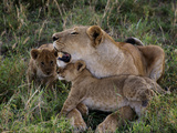 Two Cubs Rub Up Against a Lioness Photographic Print by Jim Richardson