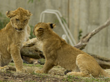 Lion Cubs, Panthera Leo, Socializing and Play-Fighting Photographic Print by Paul Sutherland