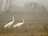 A Pair of Whooping Cranes in Wintering Grounds Photographic Print by Klaus Nigge