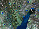 Male Indian Pea Fowl, Peacock, Pavo Cristatus, Displaying for Females. Photographic Print by Paul Sutherland
