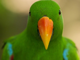 Portrait of an Eclectus Parrot Photographic Print by Michael Melford
