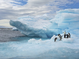 A Group of Adelie Penguins on a Blue Iceberg Photographic Print by Bob Smith