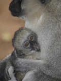 A Lack Faced Vervet Monkey, Cercopithecus Aethiops, and Her Baby Photographic Print by Kike Calvo