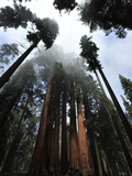 Giant Sequoia Trees and Fog Photographic Print by Raul Touzon