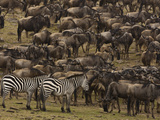 Migrating Burchell's Zebras and Wildebeests Photographic Print by Beverly Joubert
