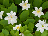 Rue Anemone Plants in Bloom, Thalictrum Thalictroides, in Springtime Photographic Print by Darlyne A. Murawski