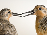 Red Knots, Calidris Canutus, a Species in Rapid Population Decline Photographic Print by Joel Sartore