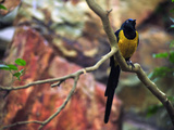 Golden-Breasted Starling, Cosmopsarus Regius, Perched on a Tree Branch Photographie par Raul Touzon