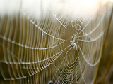 A Spider with a Fly in the Centre of its Web Covered in Dew at Dawn Photographic Print by Jason Edwards