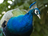 A Peacock at Rambagh Palace Hotel Photographie par Michael Melford
