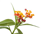 A Blood-Flower, Asclepias Curassavica, Plant Photographic Print by Joel Sartore