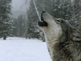 A Howling Alpha Male Gray Wolf of the Sawtooth Pack Photographic Print by Jim And Jamie Dutcher