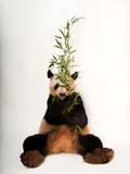 An endangered giant panda, Ailuropoda melanoleuca, at Zoo Atlanta. Photographic Print by Joel Sartore