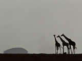 A Trio of Silhouetted Giraffes, Giraffa Camelopardalis Photographic Print by Beverly Joubert