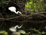 A White Egret Hunting in the Shadows in a Swamp Photographie par Mauricio Handler