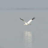 Whooping Crane in Flight Above Wintering Grounds Photographic Print by Klaus Nigge